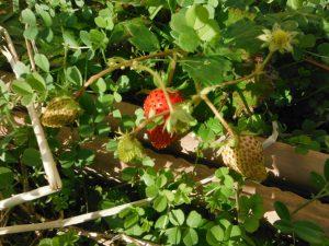 イチゴが実りました~♪