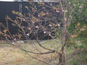 お隣さんの桜